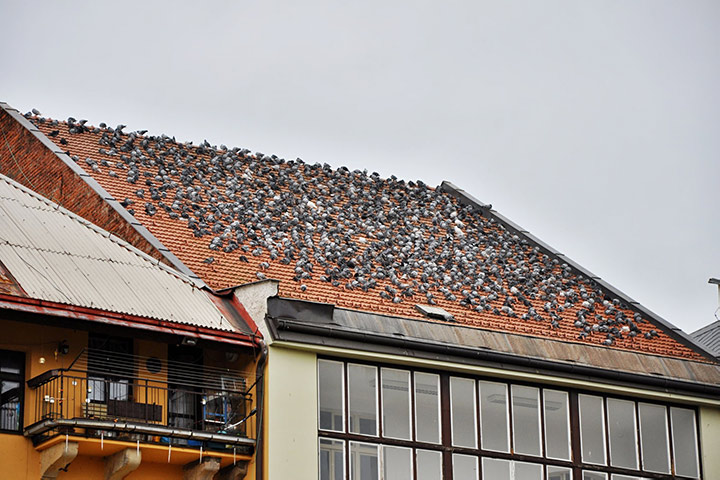 A2B Pest Control are able to install spikes to deter birds from roofs in Billericay.